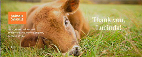 Cow Calf - He is gentle, curious, and affectionate. His world is brighter, because of you. Thank you, Lucinda!